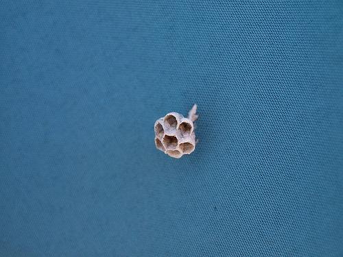 アシタカバチの巣(作りかけ)