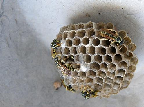 アシタカバチの巣