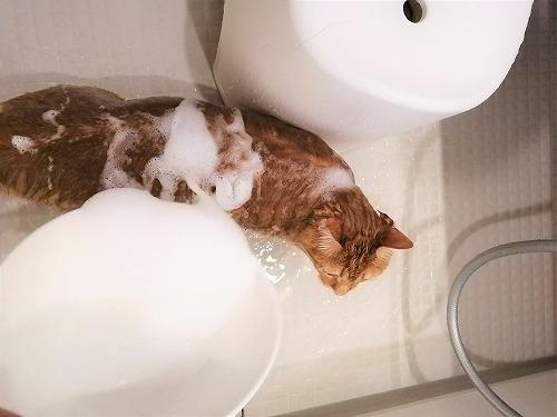 茶トラ猫にシャンプーをかける
