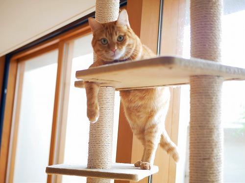 キャットタワーに登る茶トラ猫